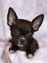 Willie Chi-Guy is an adoptable Chihuahua Dog in #Cabool, #MISSOURI.   Willie Chi-Guy Chihuahua Baby Male  Small Actual birthdate: 12/8/12 Weight:  2 pounds ...  ...