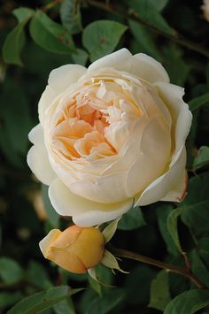 Beautiful Flower Quotes, Beautiful Rose Flowers, Beautiful Flowers, Sugar Flowers, Orange Flowers, Jude The Obscure, Most Popular Flowers, Heirloom Roses, Coming Up Roses