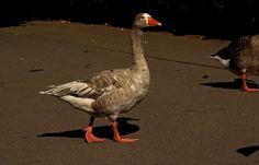 Bei diesem (Sau) Wetter, ... wie gerade heute bei uns, ist es ganz gut, eine Gans zu sein. Oder eine Ente. Oder ein anderer Wasservogel. :-)