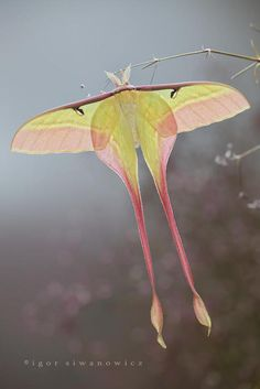 Chinese Moon Moth by Igor Siwanowicz
