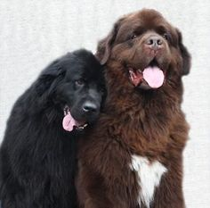 Two Newfoundland dogs in love by Megan Boundy - [Note to self: sent to A.L. 4-15-17]