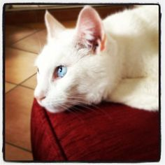 Our #cat being #cute on the #couch #beautiful #blue #eyes #feline #cute #white #pet #whietcat