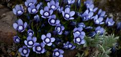 Photo of Dane's Dwarf Gentian wildflowers
