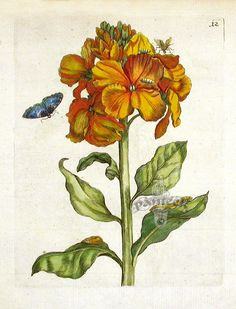 maria sibylla merian (1647 - 1717)