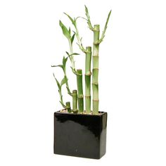 Lucky Bamboo - Rectangle Vase - Black
