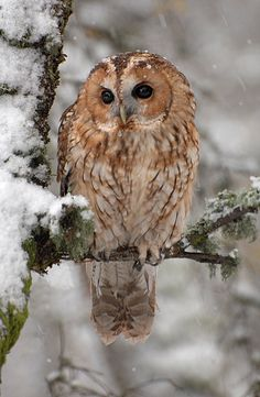 Tawny Owl by Ronald Coulter