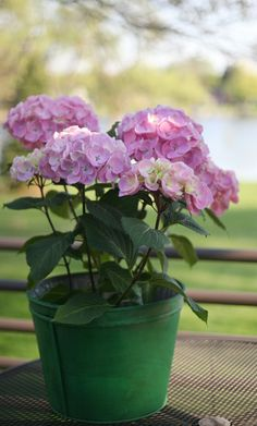This is one of the most reliable blooming hydrangeas because it blooms on both old and new wood. Let's Dance Big Easy prefers full sun or part shade, and has large mophead blooms that change color due to the pH in the soil. Garden Shrubs, Flowering Shrubs, Shade Garden, Garden Landscaping, Landscaping Ideas, Hydrangea Macrophylla, Hydrangea Not Blooming, Large Plants, Nature Crafts