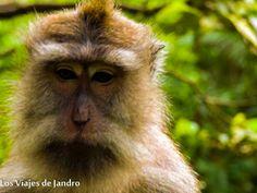 Mono de cola larga en Bali