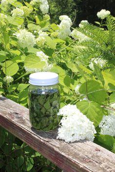 Making a Healing Plantain Oil - WholeHearted Homestead #herbalmedicine #healthytips