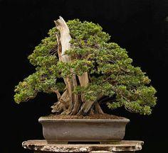 Japanese yew #2 part 3
