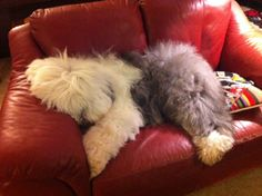 Just a little sleep time, Old English Sheepdog