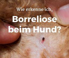 Wie erkenne ich #Anzeichen für #Borreliose beim #Hund?