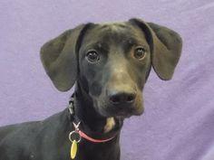 Petango.com – Meet Pansy, a 1 year Retriever, Labrador / Hound available for adoption in SAINT PAUL, MN