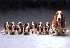 Darling Basset Hounds (how did they get them to sit still?)