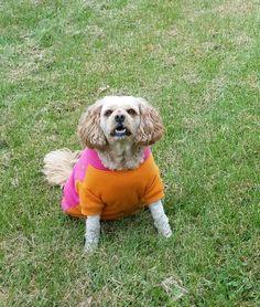 Daffney Dog my Cavachon