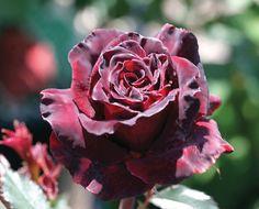 Black Baccara® Hybrid Tea Rose -- zones 6-9 -- 4' x 2 1/2' -- burgundy flowers -- continual blooming -- not shade tolerant