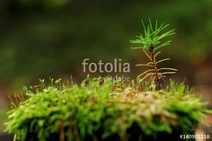 """Young pine tree growing on stump in forest"" Pic 140901218 www.sta.cr/2ODl4"