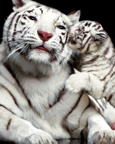 white tiger kisses | The 25 Cutest Animal Kisses -  [someone else's caption]