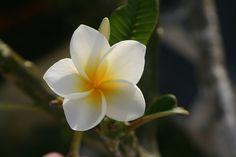 Hawaiian Flower of Love, Beautiful Flower