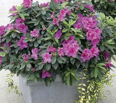 Flamboyant Azaleas For Spring Containers