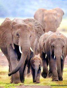 """""""""""Elephant family on the move in a driving rain. (Amboseli National Park, Kenya) Photo by Billy Dodson, Nature Photographer """" """" Elephant Walk, Elephant Family, Asian Elephant, Elephant Love, Elephant Pictures, Elephants Photos, Save The Elephants, Animal Pictures, Herd Of Elephants"""