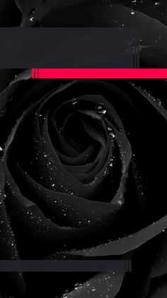 ↑↑TAP AND GET THE FREE APP! Lockscreens Art Creative Black Rose Flower Water Drops For Girls Pink HD iPhone 6 Plus Lock Screen