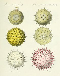 Pollen. Picture from 'Public Domain Review'. Obscure and unusual (historic) pictures. Often free of copyright.