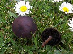 Image result for Panaeolus fimicola uk Mushroom Fungi, Avocado, Stuffed Mushrooms, Fruit, Plants, Image, Stuff Mushrooms, Lawyer, Flora