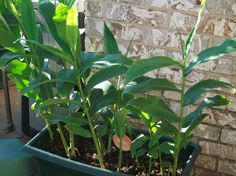 Some ginger plants in a small pot Harvest Day, Growing Ginger, Ginger Plant, Growing Veggies, Plant Images, Exterior, Grow Your Own, Medicinal Plants, Summer Garden