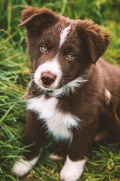 handsomedogs — Pasqual -Pictures.de Little Damon - 10 Weeks old