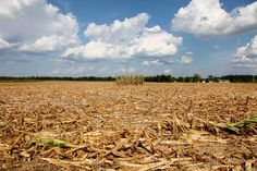 Four rows of corn left for insurance adjusters to examine are all that remain of a 40-acre cornfield in Geff, Ill. Over ten days of triple-digit temperatures with little rain in the past two months is forcing many farmers to call 2012 a total loss. #poisonedweather
