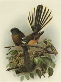 another fantail
