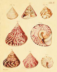 Antique Sea shell art print vintage nautical por VictorianWallArt