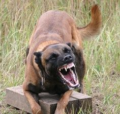 Belgian Malinois...military police dog