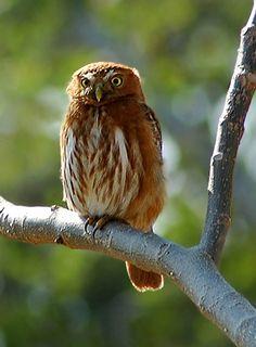 Least Pygmy Owl (Glaucidium minutissimum). Photo by Peter van Zoest.