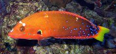 Teenage Red Coris Wrasse Coris gaimard from Tropical Fish and Aquariums