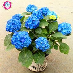 Cheap plants for homes, Buy Quality hydrangea seed directly from China china hydrangea Suppliers: 10pcs/bag Blue Hydrangea Seed Mixed Hydrangea Flower seeds china hydrangea Bonsai Viburnum potted plant for home & garden