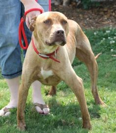 """Rick, adopted from shelter as a pup, now on death row for being """"too big"""" ADOPTED"""