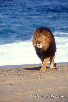 African Lion on the Beach