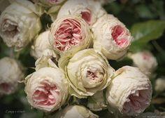 'Pashmina' Rose Photo