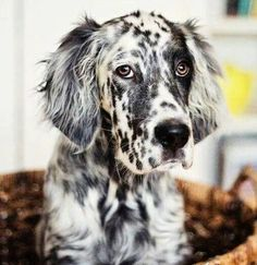 English Setter Pup ~ Classic Look
