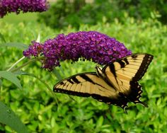 Eastern Yellow Swallowtail by carolynian