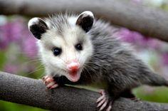 Man Talks To Possum, And The Possum Talks Back   IFLScience