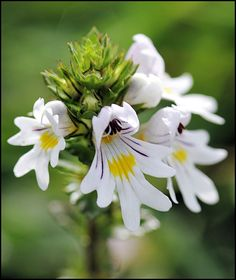 Euphrasia officinalis