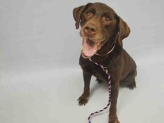 SAFE 2-27-2016 --- SUPER URGENT Manhattan Center PORK CHOP – A1065883  NEUTERED MALE, CHOCOLATE, LABRADOR RETR, 11 yrs OWNER SUR – ONHOLDHERE, HOLD FOR ID Reason PERS PROB Intake condition GERIATRIC Intake Date 02/23/2016