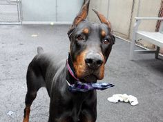 SAFE❤️❤️ 4/13/16 Manhattan Center JAYDEN – A1069658 MALE, BLACK / BROWN, DOBERMAN PINSCH, 3 yrs STRAY – STRAY WAIT, NO HOLD Reason STRAY Intake condition UNSPECIFIE Intake Date 04/08/2016, From NY 11226, DueOut Date 04/11/2016,