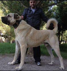 "What makes a ""Boz"" a Boz — Boz Shepherd Dog Breeders Association TBBA Turkish Boz Shepherd Working Family Protection Dogs"