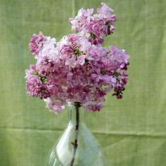 Maiden's Blush Lilacs This distinct selection developed in Canada is extra hardy and bears big, round flower clusters (that remind us of a hydrangea) in candy pink. Light Blue Flowers, Big Flowers, Beautiful Flowers, Rose Flowers, Lilac Tree, Purple Lilac, Purple Roses, Pink Color, Lilac Varieties
