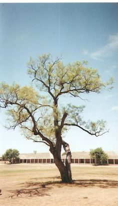 Mesquite tree at Fort Concho, San Angelo, TX