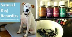 How to use essential oils for dogs to create recipes like shampoo, flea control, hot spot treatments and more